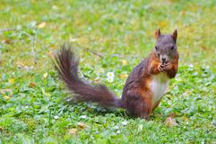 Squirrel, Nager, Rodent, Brown, Nut Royalty Free Stock Photography