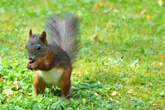 Squirrel, Nager, Rodent, Brown, Nut Stock Image