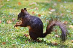 Squirrel, Nager, Rodent, Brown, Nut Stock Images