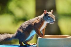 Squirrel, Nager, Rodent, Brown, Nut Stock Photography