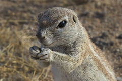 Squirrel in namibia Royalty Free Stock Photo