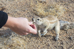 Squirrel in namibia Royalty Free Stock Photos