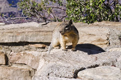 Squirrel in National Park. Shot of a Squirrel in Zion National Park royalty free stock photography