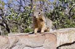 Squirrel in National Park. Shot of a Squirrel in Zion National Park royalty free stock photo