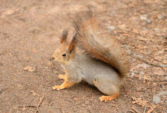 Squirrel in the natural environment. Royalty Free Stock Image