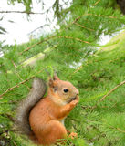 Squirrel in the natural environment. Stock Image