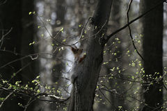 Squirrel in the natural habitat. The squirrel quickly climbs trees, finds food and eats it. Sunny spring day in the forest Stock Image