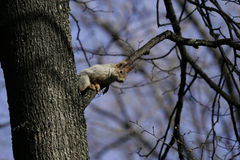 Squirrel in the natural habitat. The squirrel quickly climbs trees, finds food and eats it. Sunny spring day in the forest Royalty Free Stock Photos