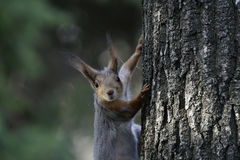 Squirrel in the natural habitat. The squirrel quickly climbs trees, finds food and eats it. Sunny spring day in the forest Stock Photo