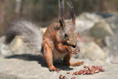 Squirrel in the nature. Squirrel and nuts of siberian pine Royalty Free Stock Photo