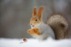 Squirrel in nature royalty free stock photography