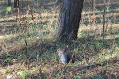 Squirrel near the tree in forest royalty free stock photo