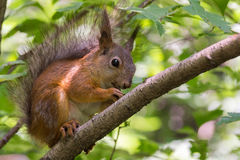 Squirrel near a tree Royalty Free Stock Image