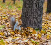 Squirrel near the tree Royalty Free Stock Photography