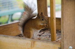 Squirrel near the trough. Fluffy squirrel gnaws nuts in a manger Royalty Free Stock Images
