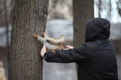 Squirrel in Neskuchny Garden in Moscow. Stock Photo