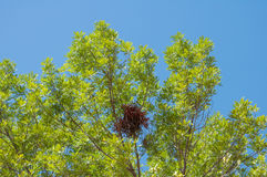 Squirrel nest high up in a leafy tree. With blue sky background Royalty Free Stock Photos