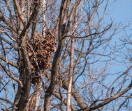 Squirrel Nest Royalty Free Stock Photography