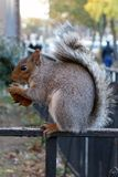 Squirrel new york usa city harlem bronx Royalty Free Stock Images