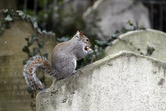 A squirrel nibbling an acorn Royalty Free Stock Photo