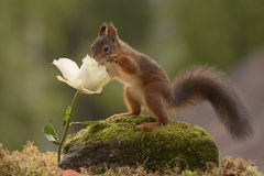 Squirrel with the nose in  white rose. Red squirrel with the nose in a white rose Royalty Free Stock Photo