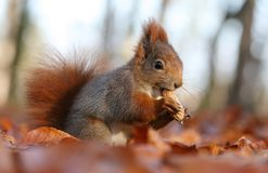 Squirrel with nut Stock Photo