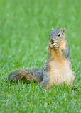 Squirrel with nut Stock Photography