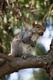 Squirrel with Nut Royalty Free Stock Photo