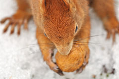 Squirrel with nut. View from the top to the squirrel with nut stock photography