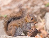 Squirrel and nut. Royalty Free Stock Photos