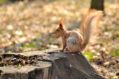 Squirrel with a nut Stock Images
