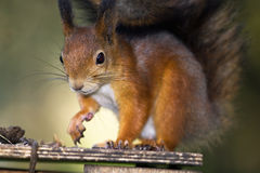 Squirrel and nut. Squirrel on birdhouse in forest Stock Photo