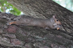 Squirrel with nut. Cute squirrel laying in tree eating a nut Stock Images
