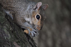 Squirrel with nut. Cute squirrel eating a nut in the park Royalty Free Stock Photo
