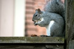 Squirrel with nut Royalty Free Stock Photography
