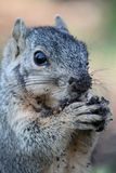 Squirrel with Nut Stock Images