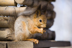 Squirrel with a nut Royalty Free Stock Photos