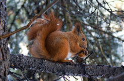 Squirrel and a nut. Squirrel eats its favourite nuts on a branch of winter tree Stock Image