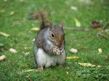 Squirrel with Nut. Closeup of eastern gray tree squirrel with nut, sitting on low grass in the park stock photos