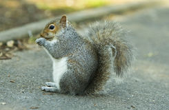 Squirrel with nut. Grey squirrel eating nut sitting on the road Royalty Free Stock Photos