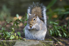 Squirrel ; with nut. Cute squirrel with nut looking in the lens Stock Photo