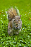 Squirrel with a nut stock photography