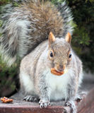 Squirrel With a nut Royalty Free Stock Photo