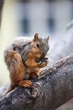 Squirrel With Nut Royalty Free Stock Photos