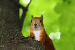 Squirrel nut chewing Stock Images
