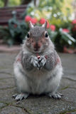 Squirrel with a nut in a city park Royalty Free Stock Images