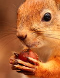 Squirrel with nut close-up Royalty Free Stock Photos