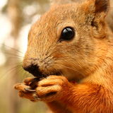 Squirrel with nut close-up Stock Photography