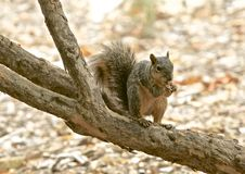 Squirrel nut. Cute brown squirrel eats nut with hands on branch of tree in Stock Images