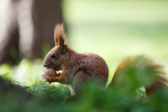 Squirrel nut the eater. Stock Photos